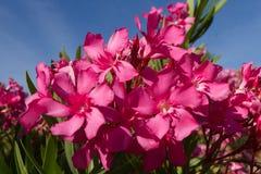 Azalean blommar soligt Fotografering för Bildbyråer