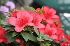 azalearhododendron Fotografering för Bildbyråer