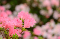 Azaleas Royalty Free Stock Photos