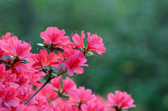 Azaleas Stock Photo