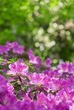 Azaleas. Under the leafy green backdrop of red azaleas Royalty Free Stock Photography