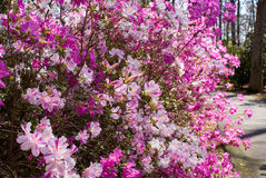 Azaleas Royaltyfria Bilder