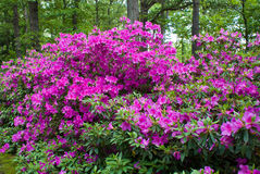 Azaleas Royalty Free Stock Photography