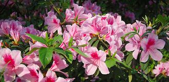 Azaleas. The hillside in March flames with azaleas Royalty Free Stock Photography