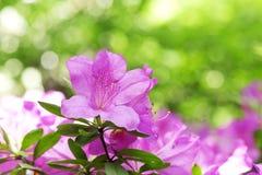 azaleas Imagenes de archivo