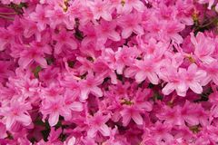Azaleas. Pink Azaleas in Full Bloom Close Up Royalty Free Stock Photo