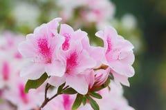 azaleas fotografia de stock royalty free