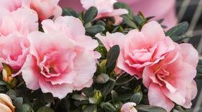azaleas Fotos de archivo libres de regalías