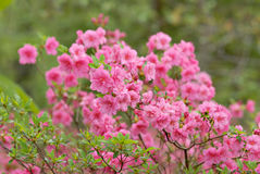 Azaleas Royalty Free Stock Image