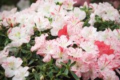 azaleas Foto de archivo