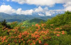 Azaleas anaranjadas Roan Mountain Highlands de la llama imagen de archivo libre de regalías