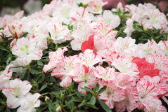 Azaleas. Beautiful blooming azaleas in february stock photo