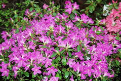 Azaleas. Beautiful blooming azaleas in february royalty free stock photos
