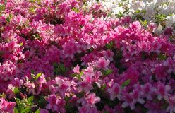 Azaleas in Bloom Royalty Free Stock Images