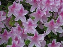 Azaleas in bloom royalty free stock photo