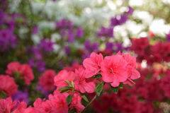 Azaleas blooming in a garden Stock Images