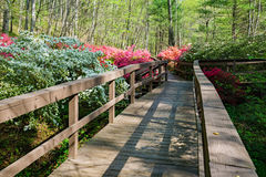 Azaleas Blooming in a Mountain Park Stock Images