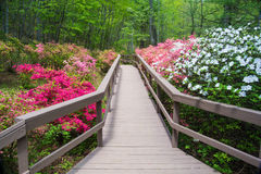 Azaleas Blooming in a Mountain Park Royalty Free Stock Image