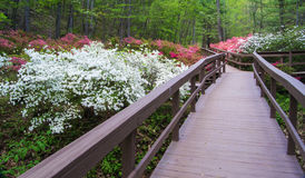 Azaleas Blooming in a Mountian Park Royalty Free Stock Photography