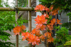 Azaleas blooming next to a bamboo fence stock image