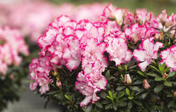 Azaleas Stock Photos