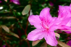 Azaleas brightly colored Dark Pink flowers - Royalty Garden. Beautiful and majestic plant on dark green background. Copy space. Azaleas brightly colored Dark Stock Photography