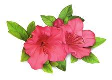 Azaleas with bud on white background. Pink azaleas with bud on white background Stock Photography