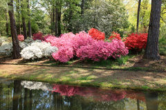 Azaleas at Callaway Gardens Royalty Free Stock Image