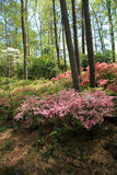 Azaleas at Callaway Gardens Stock Images
