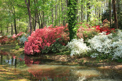 Azaleas at Callaway Gardens Royalty Free Stock Images
