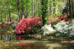 Azaleas at Callaway Gardens Royalty Free Stock Photo