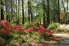 Azaleas at Callaway Gardens Stock Photo