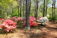 Azaleas at Callaway Gardens Royalty Free Stock Photos