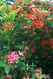 Azaleas calvas de la llama de Gregorio Fotografía de archivo