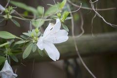 Azaleas. Close up of azalea flowers on a bush Royalty Free Stock Photography