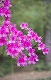 Azaleas. Close up of azalea flowers on a bush Stock Photo