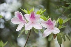 Azaleas. Close up of azalea flowers on a bush Stock Photography