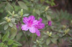 Azaleas. Close up of azalea flowers on a bush Stock Photos