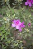 Azaleas. Close up of azalea flowers on a bush Royalty Free Stock Images