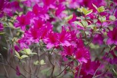 Azaleas. Close up of azalea flowers on a bush Royalty Free Stock Image