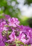 Azaleas Royalty Free Stock Photos