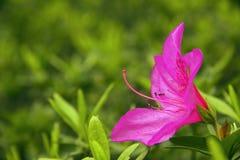 Azaleas coloridas Fotos de archivo libres de regalías