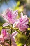 Azaleas de la primavera Imagen de archivo