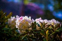 Azaleas de las flores rosadas y blancas imagenes de archivo