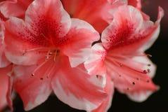 Azaleas del bastón de caramelo Imagen de archivo libre de regalías