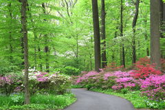 Azaleas and dogwood bloom in forest understory Royalty Free Stock Photo