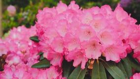 Azaleas en el cierre del jardín para arriba Foto de archivo