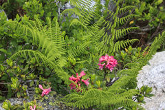 Azaleas and ferns in Austria mountains, Tyrol Stock Photo