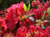 Azaleas florecientes rojas por completo… fotos de archivo libres de regalías