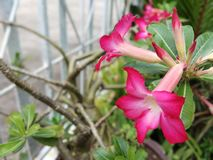Adenium Azalea flowers are used as beautiful background images. Azaleas are flowering shrubs in the genus Rhododendron, particularly the former sections royalty free stock image